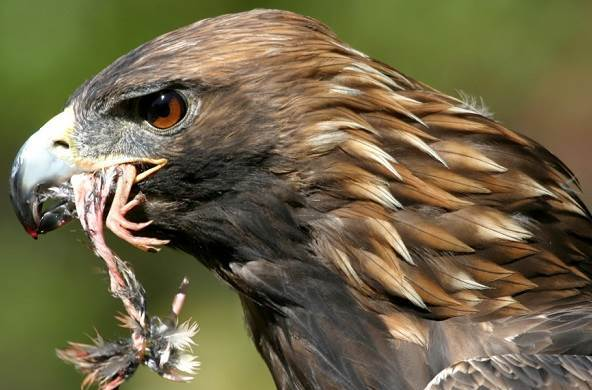 Golden Eagles eats