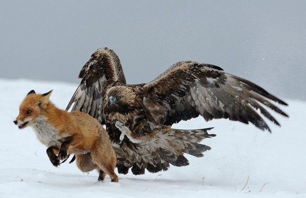 Golden Eagles hunts