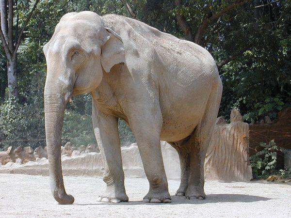 Індійський слон