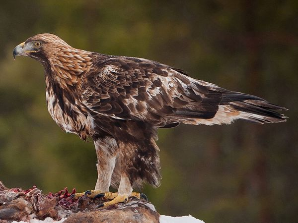 Canadian Golden Eagle