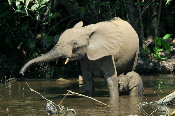 Лісовий слон