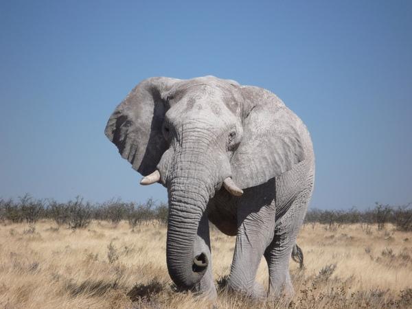 Саванний слон