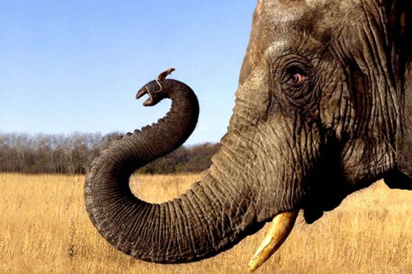 слон та миша