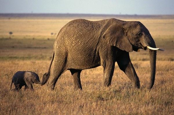 слониха та слоненя