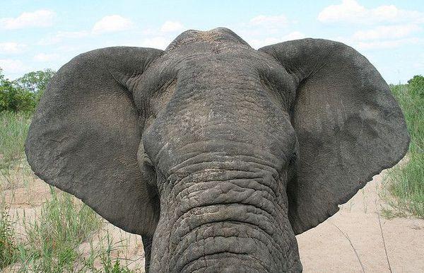 вуха слона