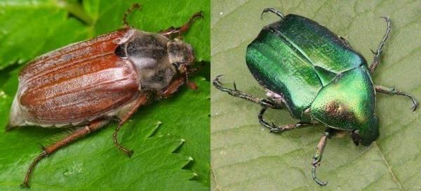 Майский жук и бронзовка