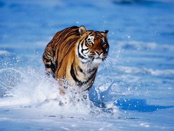 Тигр бежит