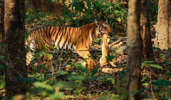 Тигр на полюванні