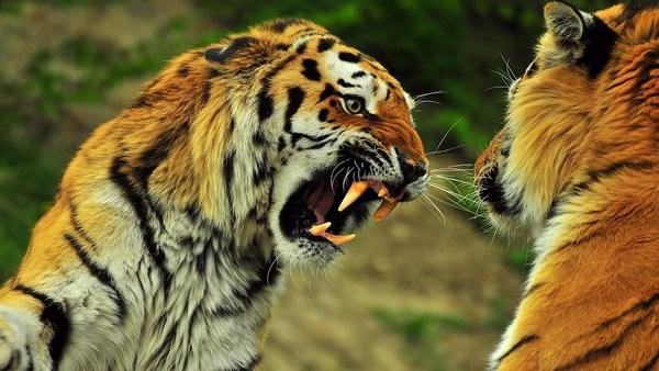 Тигры дерутся
