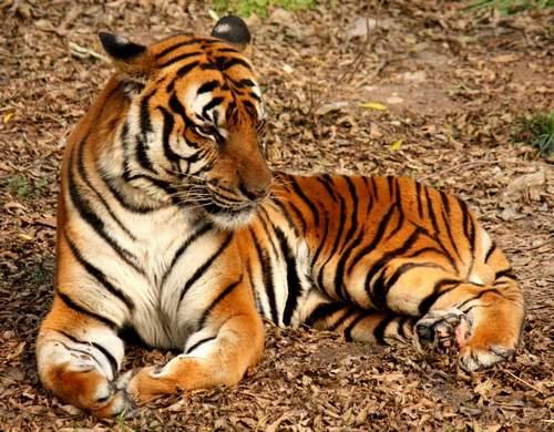 Южнокитайский тигр