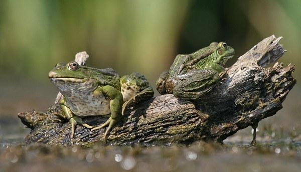 жаби в ставку