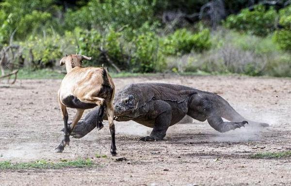 Комодский варан охотится