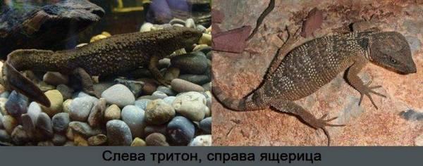 Ящерица и тритон