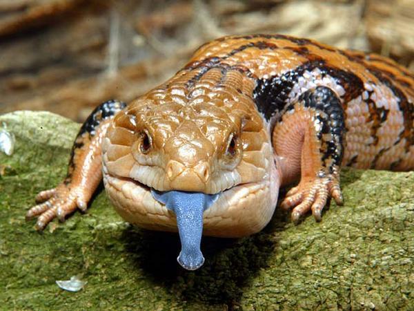 язик ящірки