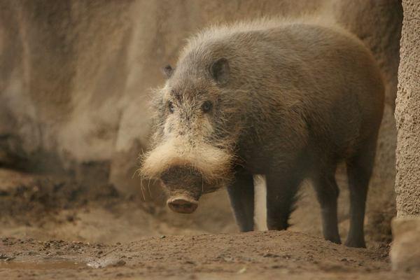 Бородата свиня