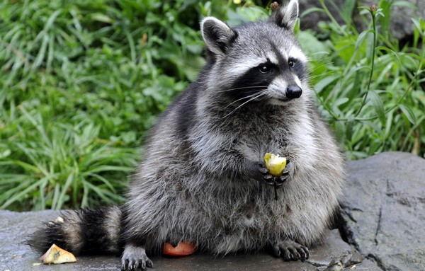 Raccoon eats