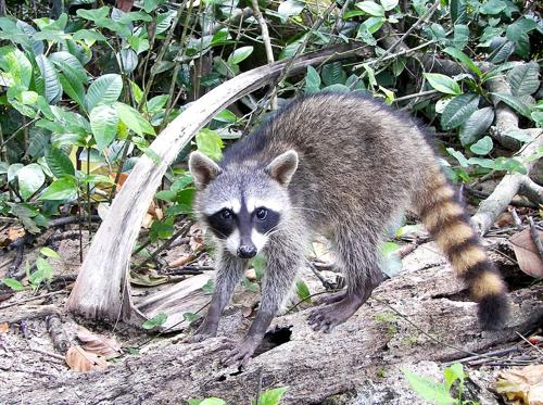 Crab-eating Raccoon
