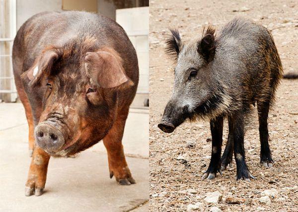 Кабан и свинья