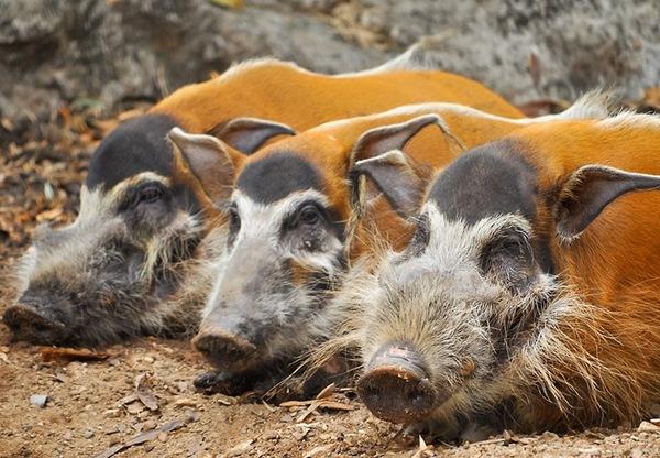 Речная кистеухая свинья