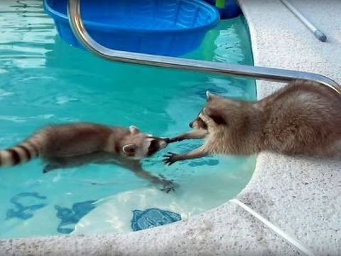 Raccoon swims