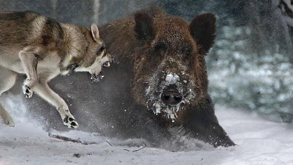 кабан проти вовка