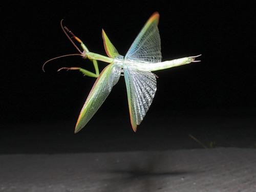 Praying mantis fly