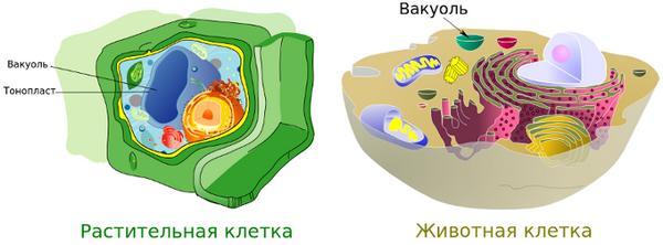 вакуолі в рослинній і тваринній клітині