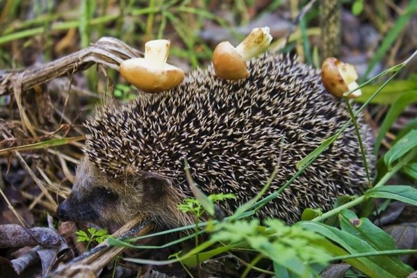 їжак з грибами