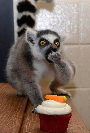 лемур їсть