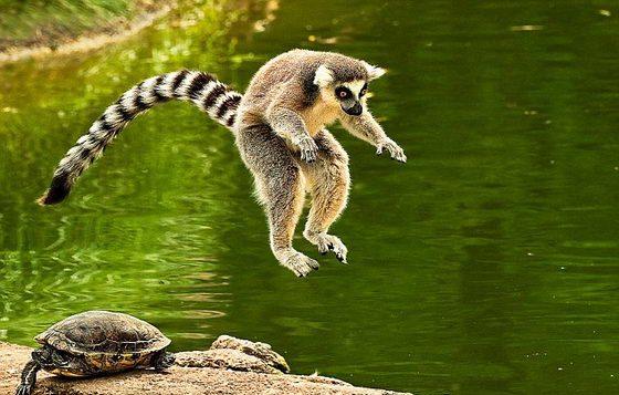 лемур прыгает