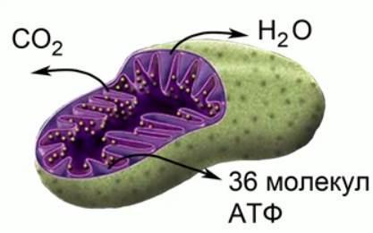 гликолиз глюкозы
