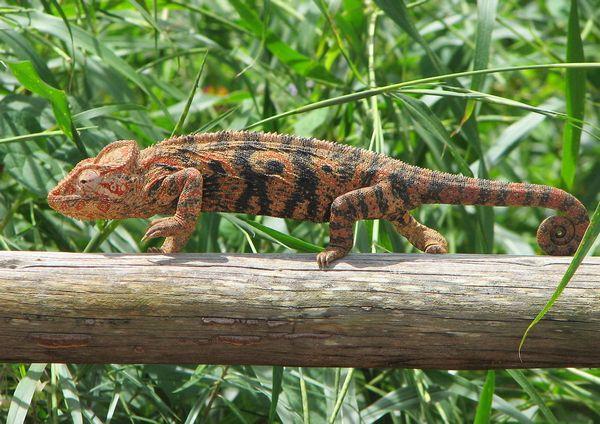 Гигантский хамелеон