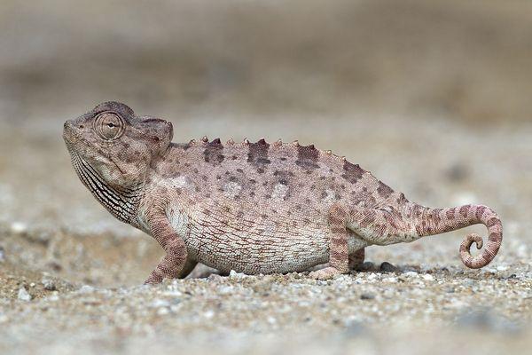 Пустельний хамелеон