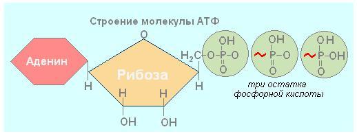 будова молекули АТФ