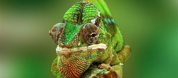очі хамелеона