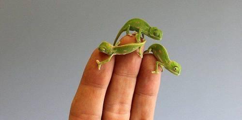 маленькие хамелеоны