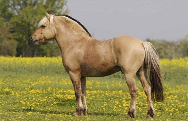 Норвежская фьордская лошадь