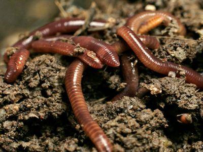 дощові черв'яки