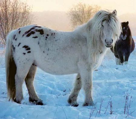 лошадь якутской породы