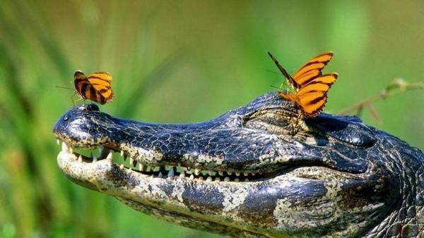 Бабочка на крокодиле