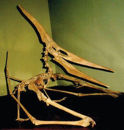 Скелет птеранодона