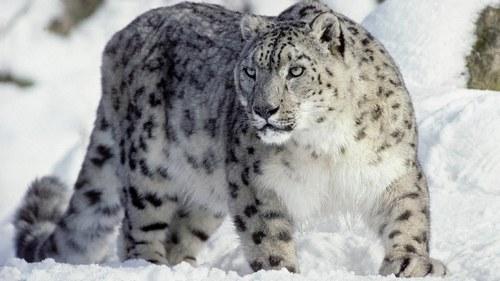 Сніговий барс