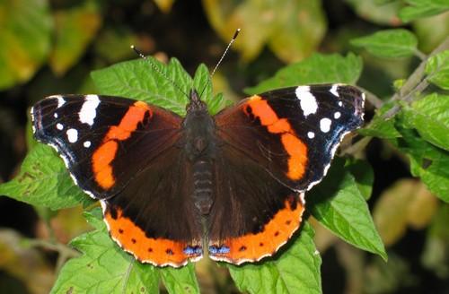 метелик-адмірал