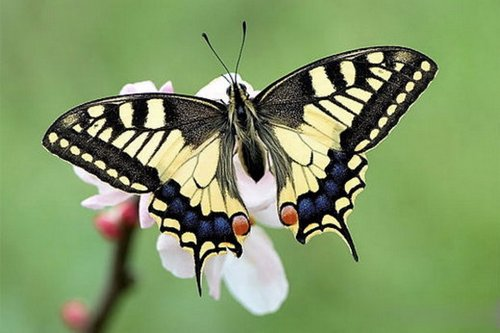 метелик махаон