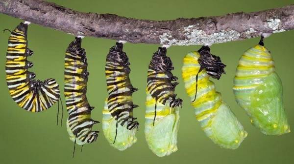 окукливание гусеницы