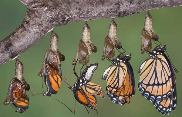 перетворення лялечки в метелика