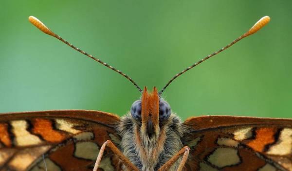 вусики метелика