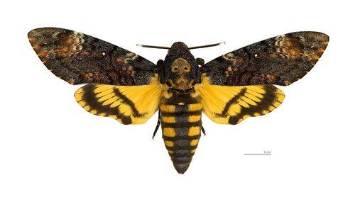 метелик мертва голова