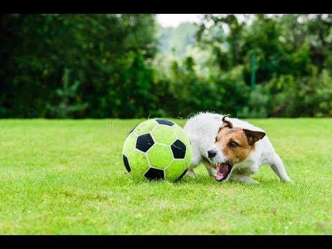 собака играет в футбол