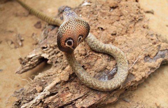 Індійська кобра